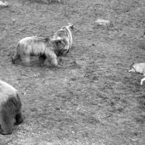 Совместное проживание медведей и волков в новом общем вольере