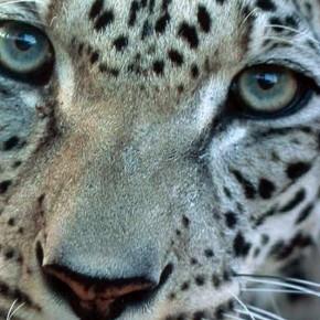 Руководство Европейской ассоциации зоопарков и аквариумов по содержанию леопардов