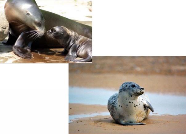 Руководство EAZA по оптимальным методам содержания животных из семейств ушастых тюленей (Otarridae) и настоящих тюленей (Phocidae)