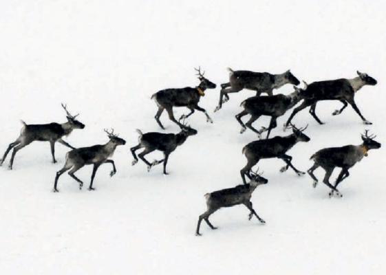 Восстановление численности финских северных оленей