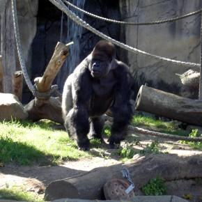 Вопросы прикладной приматологии