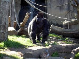 stockvault-gorilla100231