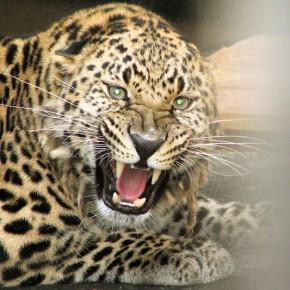 Сохранение популяций дальневосточного (амурского) леопарда и амурского тигра