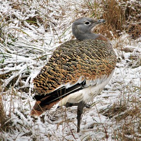 Сохранение дрофиных птиц Евразии