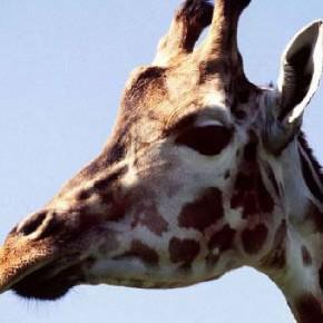 Руководство EAZA по содержанию жирафов (2006 г.)