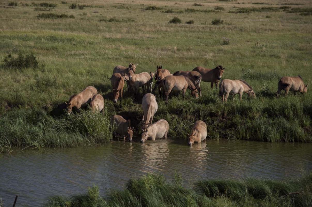 Программа по созданию полувольной популяции лошади Пржевальского в государственном природном заповеднике «Оренбургский»