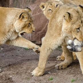 Влияние объектов окружающей среды на драки трех львов-самцов в зоопарке Гейдельберга