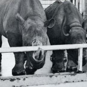 Возможные причины истирания рога у содержащихся в зоопарках черных носорогов (том 76)