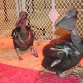 Рекомендации по содержанию Розового пеликана