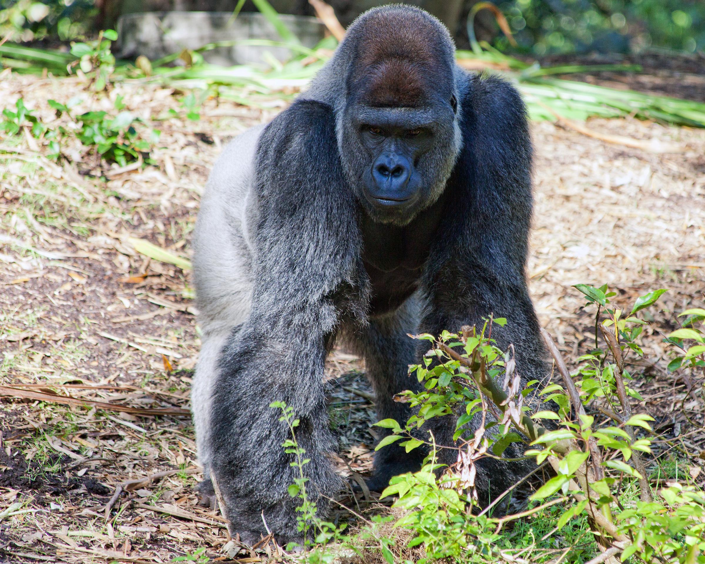 Обогащение окружающей среды для трех видов человекообразных обезьян в зоопарке Крефельда – исследование по занятости животных с помощью учрежденных методов